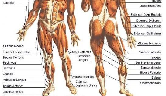 human body muscle diagram all the muscles of the human body, Muscles