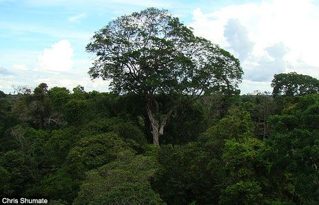 Amazon Rainforest Trees Amazon Rainforest Trees Rainforest