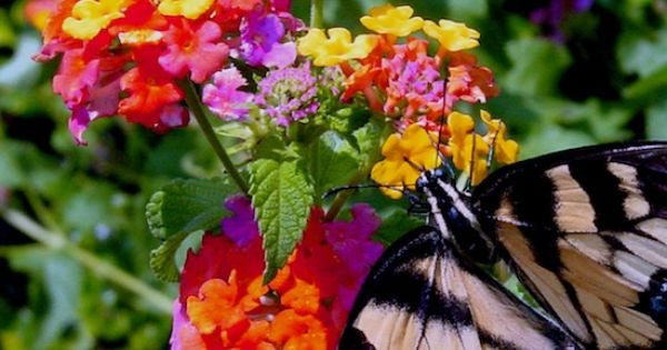 how to get rid of lace bugs on lantana