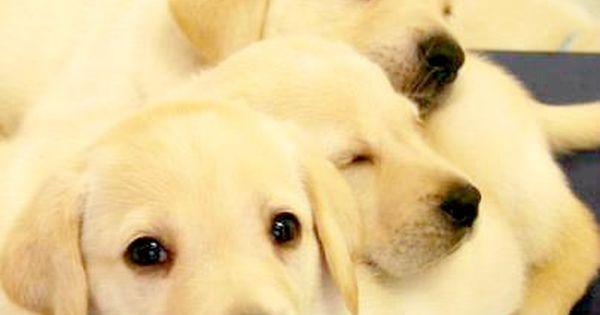 50 Names For Female Yellow Labrador Retrievers Meaningful Lab Names Labrador Retriever Dog Training Tips Yellow Labrador Retriever