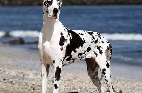 Harlequin Great Dane. It's a cow, no it's a horse, no it's