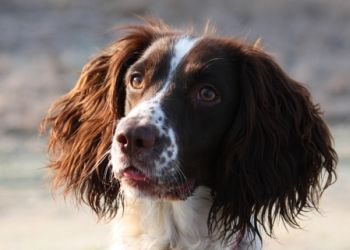 Breed Guide English Springer Spaniel Pet Care Cats Sick Pets Pet Insurance Cost