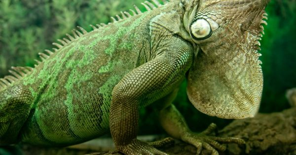 Iguana Have Had A Few In My Life But Even My Favorite One Dinky Didn T Like Me No More Iguanas Iguana Green Iguana Animals