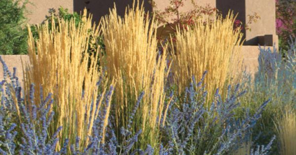 Calamagrostis Acutiflora Quot Karl Foerster Quot And Russian Sage