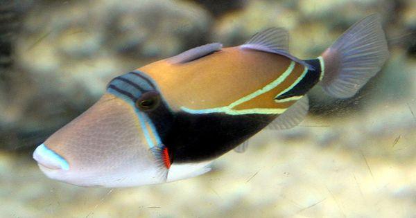 Hawaii State Fish Humuhumunukunukuapua A Fish Animal Projects Animal Lover