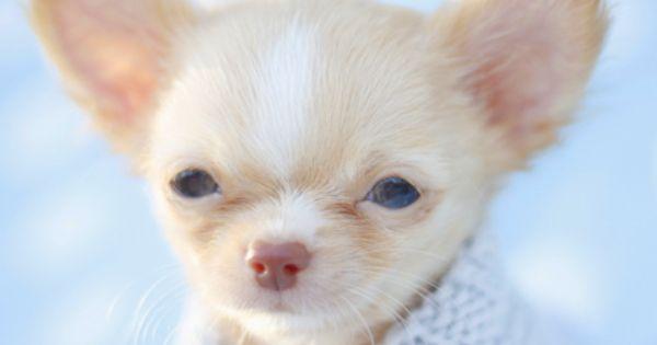 Looks Like A Cute Little Downsyndrome Chihuahua Puppy Chihuahua