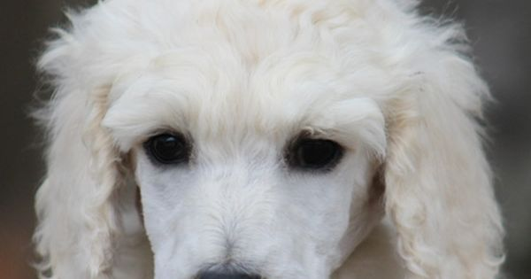 003 Phoenix S White Yellow Polish Female Standard Poodle Puppy