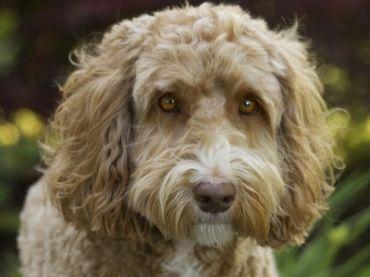 Compare Dog Labradoodle Vs Goldendoodle Detailed Info On