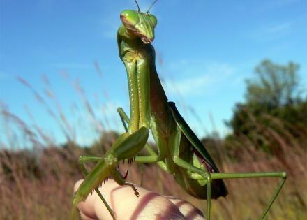 You Can Buy A Live Praying Mantis As A Pet Online Praying Mantis Pets Online Pets