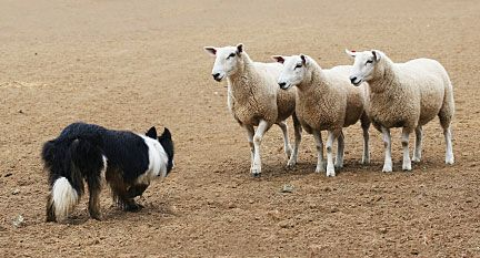 Picture Of Sheep Dog Trials