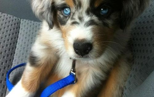 Goberian - Golden Retriever/Siberian Husky...