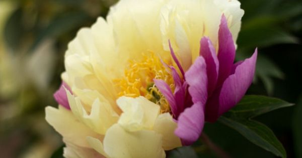 Order Today For Fall Planting Save With Discount Code Save Lemon Dream Itoh Intersectional Peonies Are Dreamy Planting Peonies Yellow Peonies Peonies Garden