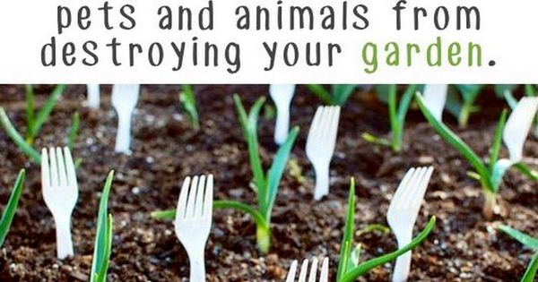 Use plastic forks to keep animals from destroying your garden gardening tips pinterest - Garden ideas to keep animals out ...