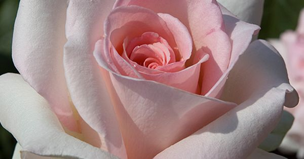 rosa 39 schloss ippenburg 39 aka 39 prince jardinier 39 france. Black Bedroom Furniture Sets. Home Design Ideas