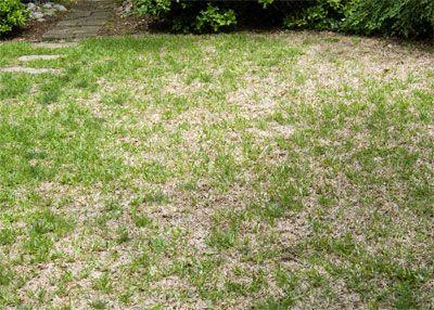 St Augustine Problems Neil Sperry S Gardens St Augustine Grass Care Grass Care Backyard Oasis