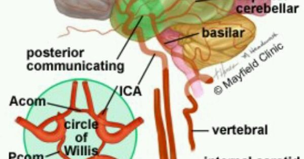 Cigarette Smoking Side Effects Urdu as well 20 further 449867450251375828 together with Acute Ischemic Stroke An Overview furthermore Jcbfm2010107f3. on blood flow of brain