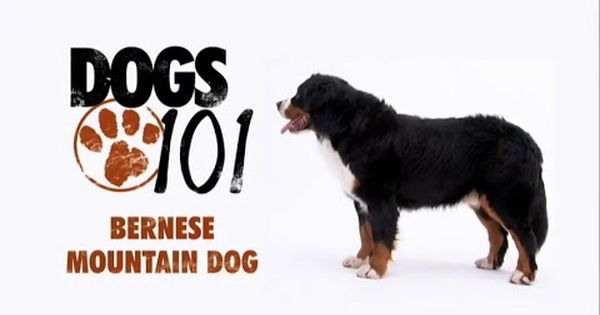 Dogs 101 Bernese Mountain Dog Eng Bernese Mountain Dog Dogs