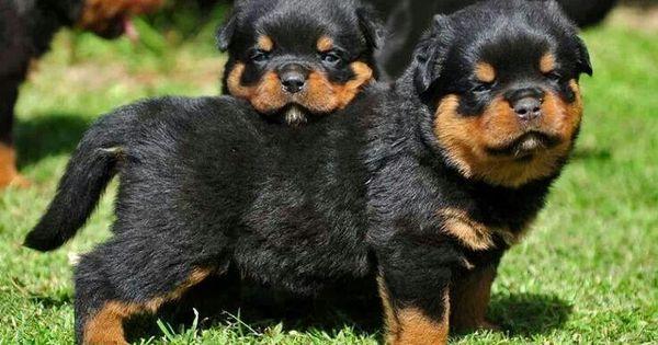 Rottweiler Puppies Animals Pinterest Puppys