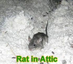 How To Get Rid Of Rats In Attic