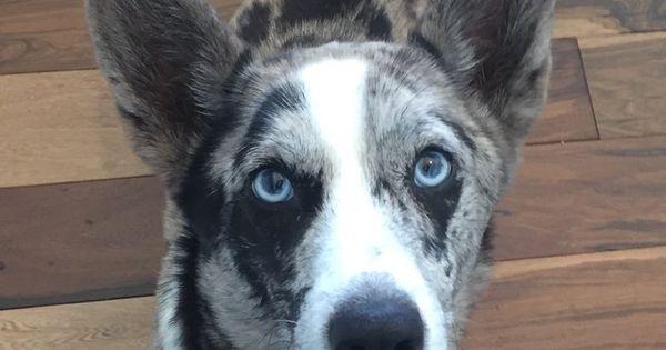 Cardigan Welsh Corgi Dog For Adoption In Eden Prairie Mn Adn 783165 On Puppyfinder Com Gender Female Age Adult Corgi Dog Dog Adoption Corgi