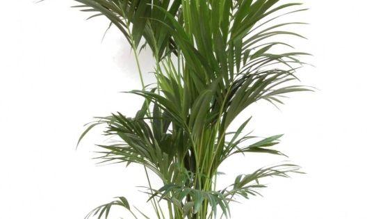 Plante exotique int rieur kentia howea forsteriana for Plante kentia