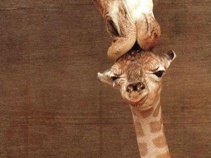 "baby giraffe ""it's getting a kiss, or it's eating it's brains. it's"