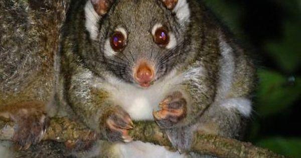 Green Ringtail Possum Australia Possum Mammals