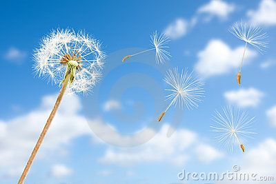 Dandelion Seeds In Wind Flying Into Sky Download From Over 47 Million High Dandelion Seed Dandelion Stock Photography Free
