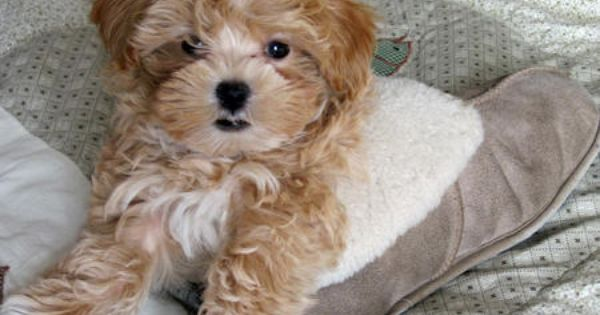 Chewbacca The Poodle Mix Poodle Mix Cute Baby Animals Poodle