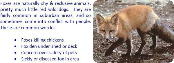 How To Keep Foxes Away From Your House Yard Garbage Shed Chickens Backyard Pet Chickens Fox
