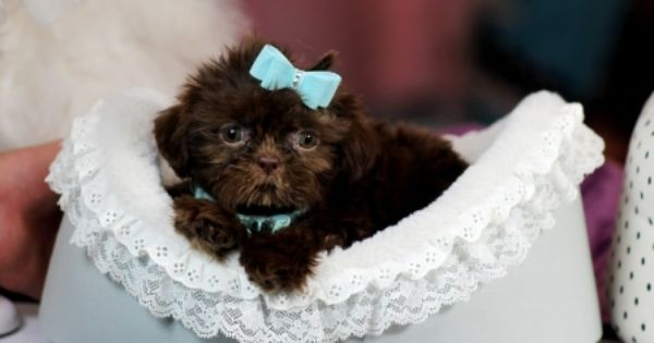 Simba The Green Eyed Imperial Shih Tzu For Sale Call Now 954 353 7864 Www Teacuppuppiesstore Com Shihtzu Shih Tzu Shih Tzu Puppy Teacup Shih Tzu