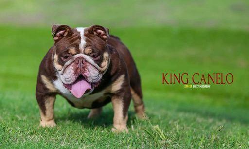 English Bulldog Puppy For Sale In Houston Tx Adn 64915 On