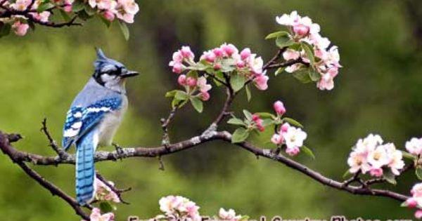 Blue Jays And Apple Blossoms Blue Jay Blue Jay Bird Blossom Trees