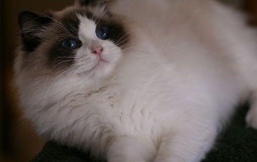 Pin By Barbara Smith On My Cat In 2020 Ragamuffin Cat Ragdoll
