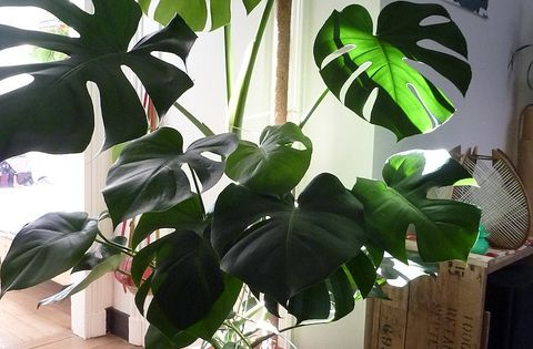 Philodendron the best beautiful almost no care 1 for Best no maintenance plants