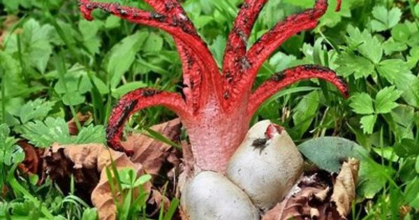 Octopus stinkhorn (Clathrus columnatus). They all have a ...