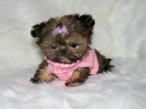 Teacup Shih Tzu Tiny Teacup Imperial Shih Tzu Puppies 1585 81