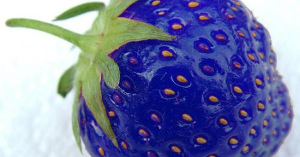 No, it's not photoshopped; a blue strawberry does exist! Looks awesome... atomic