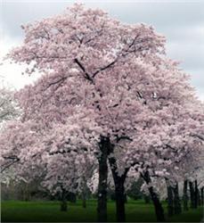 Japanese Flowering Cherry Aka Yoshino Cherry 8 98 This