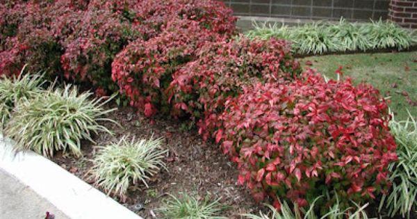 Firepower Nandinas Shade Plants Plants Landscaping Plants