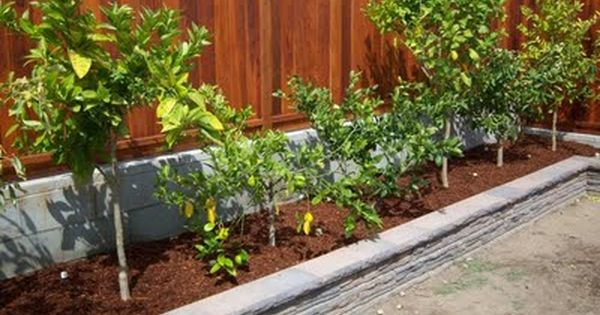 backyard farming fruit trees along fence i did this so glad i did