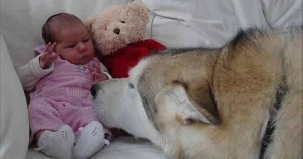 Meme Funny Husky Dogs : Dump a day dogs think they're so funny 35 pics show to dad