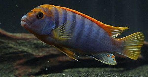 Red Top Hongi Labidochromis Lake Malawi African Cichlid Live Tropical Fish Ebay African Cichlid Aquarium Cichlids African Cichlids