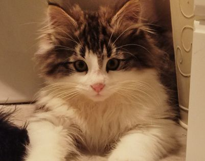 His Tiny Little Face In All That Wonderful Fur Alvin You Are Too Cute For A Mere Human To Bear Seven Streams Norwegia Norwegian Forest Cat Cats Forest Cat