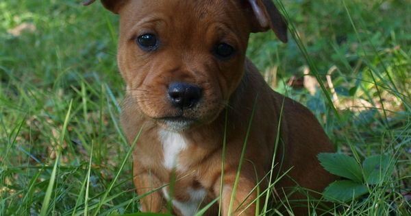 Pin By David On Staffordshire Bull Terrier Puppies Little Puppies Dogs And Puppies