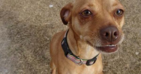 Pin By Annie Cawley On Adoptable Small Breeds Dogs Adoption Dachshund