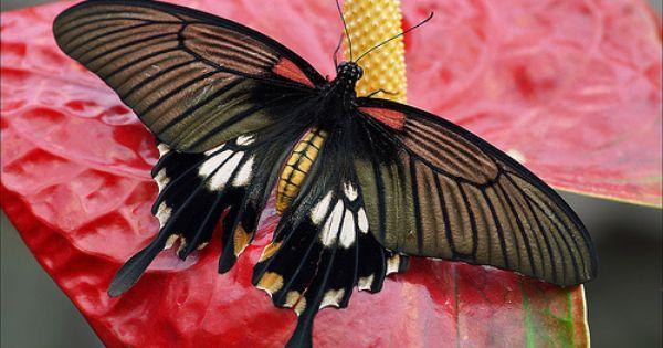 Female Asian Swallowtail Beautiful Butterflies Most Beautiful Butterfly Swallowtail