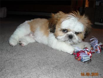 Grumpy Shih Tzu Good Heavens Someone Give This Puppy A Happy Now Shih Tzu Puppy Shih Tzu Dog Shih Tzu