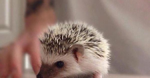 This baby porcupine is so cute