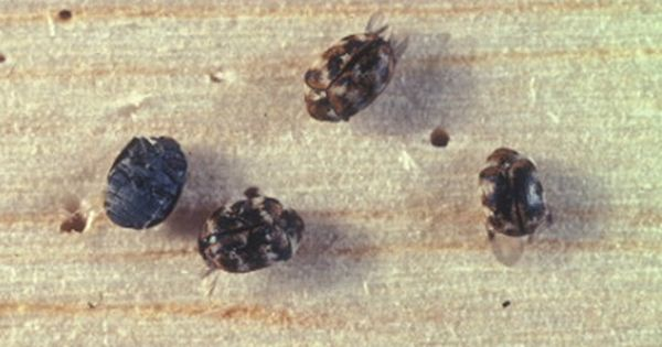 How To Get Rid Of Carpet Beetles Naturally On Your Own Types Of Carpet Beetle Carpet Bugs